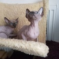 Sphynx kattungar Blue Eyes Ready Now