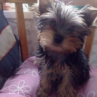 Yorkshireterrier valp