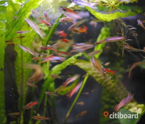 Endlers Guppy
