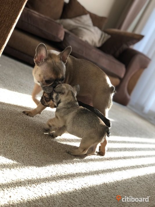 Beautiful Gorgeous and cute French Bulldog puppies Adoption  Stockholm