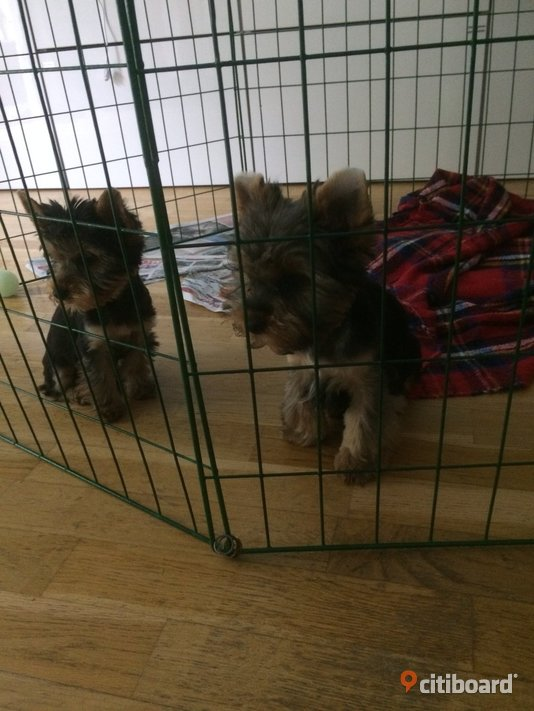 yorkshireterrier ,york  Huddinge