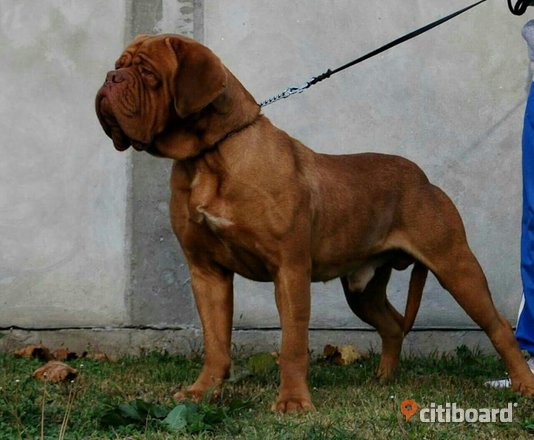 Dogue de Bordeaux puppies Hund Tyresö