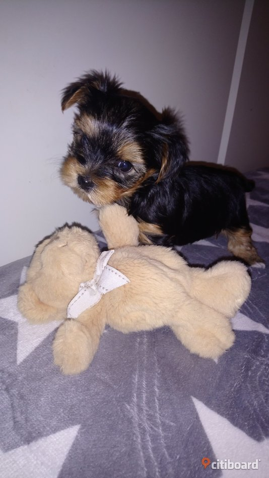 Yorkshireterrier  Hylte