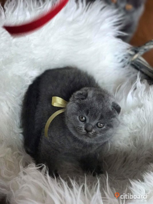 Kattungar / Scottish Fold shorthair