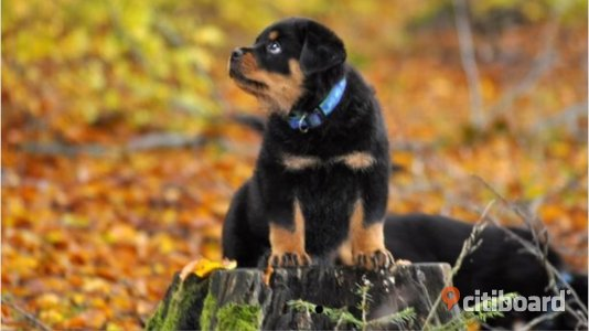 Rottweiler Valpar Antheds Kennel