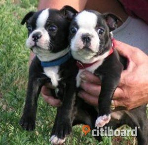 Sällsynta Triple Carrier Boston Terrier valpar Säffle