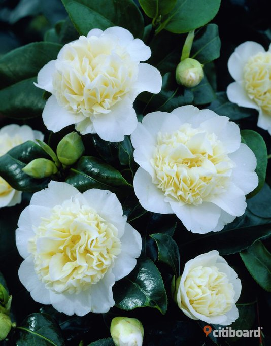 Camellia japonica brushfield yellow ( 1 stor planta )
