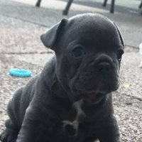 Blue French Bulldog Puppies akc registrerade
