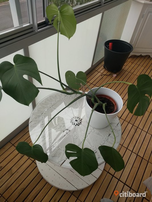 Monstera Umeå